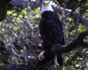 Rogue-River-Bald-Eagle-in-tree