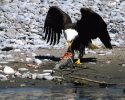 Rogue-River-Bald-Eagle-with-Steelhead-B