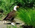 Rogue-River-Bald-Eagle-with-Steelhead