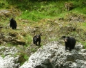 Rogue-River-Black-Bear-3-on-rocks