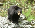 Rogue-River-Black-Bear-B