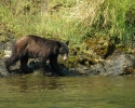 Rogue-River-Black-Bear-near-river
