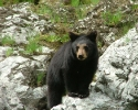 Rogue-River-Black-Bear