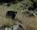 Rogue-River-Canyon-Black-Bear