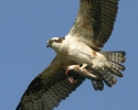 Rogue-River-Canyon-wildlife-Osprey-with-fish