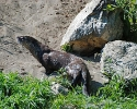 Rogue-River-Canyon-wildlife-River-Otter