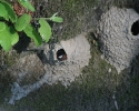 Rogue-River-Cliff-Swallow-Nest