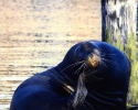 Rogue-River-Estuary-California-Sea-Lion-on-dock