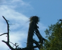 Rogue-River-Osprey-Nest
