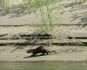 Rogue-River-Otter