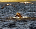 Rogue-River-Sea-Lion-with-Fall-Chinook-Salmon