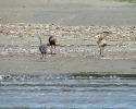 Rogue-River-Wild-Turkey